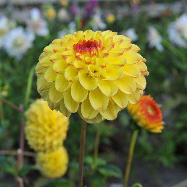'Sunny Boy' heißt diese sommerlich gefärbte Dahlie. Pflanzzeit ist im Frühling. Knollen gibt's bei www.fluwel.de
