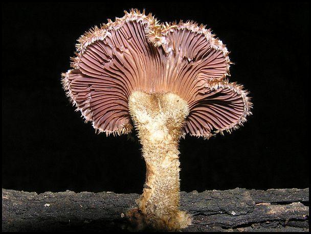 Panus Fasciatus, a Hairy Trumpet mushroom (Australia)