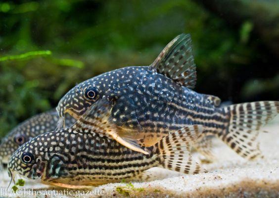 Sterba S Cories Corydoras Sterbai Aquarium Fish Tropical Freshwater Fish Aquarium Catfish