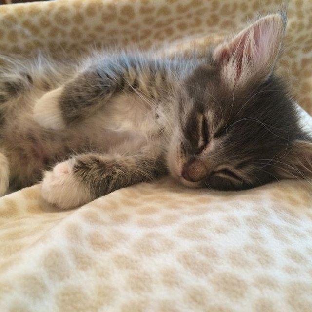 So very sleepy! #BartholomewMittenfloss #IttyBittyKittyCommittee #IBKC #kittensofinstagram #catsofinstagram #kitten by ibkc_laurie
