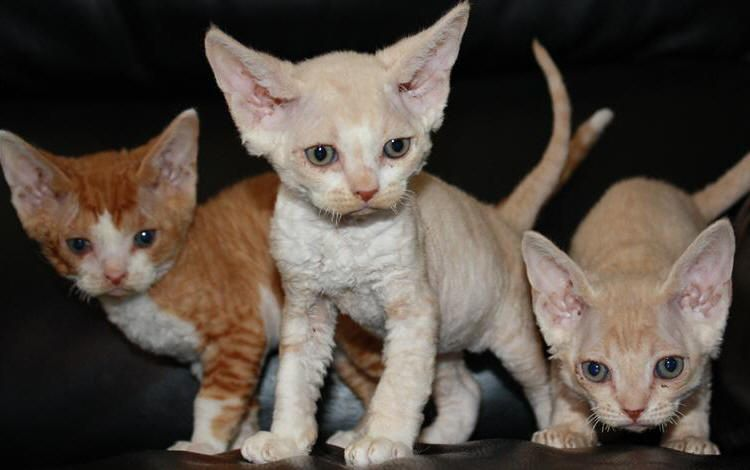 8 Unique Curly Haired Cat Breeds That Suitable For Family S Pet Devon Rex Cats Cat Furry Cat Breeds