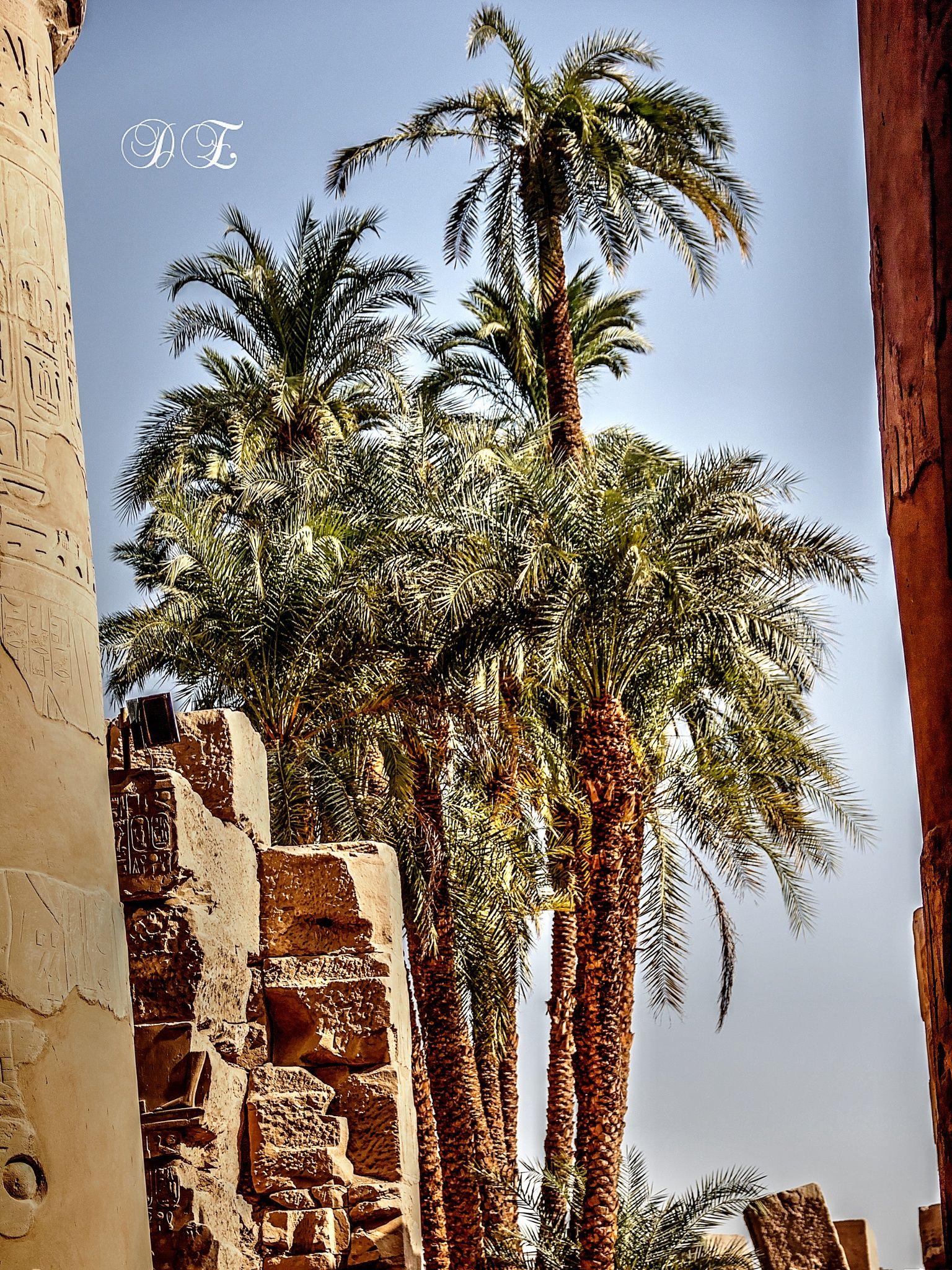 Luxor Trees By Dalia Leissy 500px Luxor Tree Photographer
