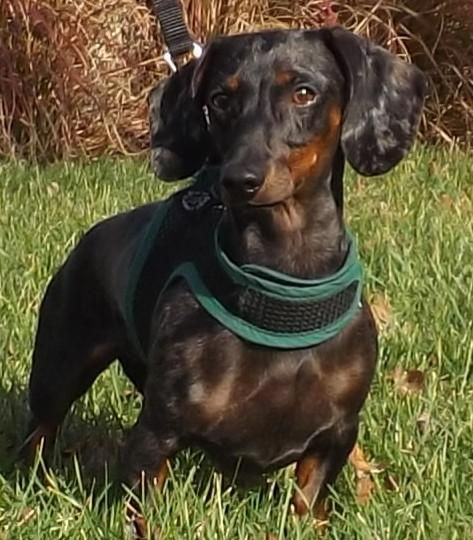 Adopt Josie On Dachshund Adoption Dachshund Dachshund Rescue
