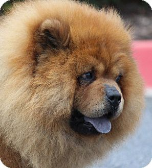 Pin By Margie Banz Killian On Chow Chow Mania Dogs Chow Chow
