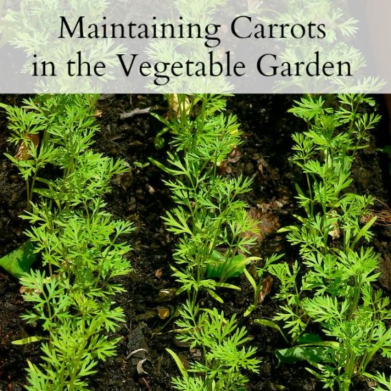 the secret for growing great carrots - Maintaining Carrots in the Vegetable Garden | Untrained Housewife