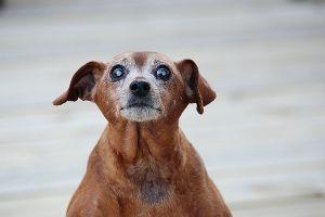 Why Does My Old Dog Tremble Old Dogs Dog Eyes Dog Shaking