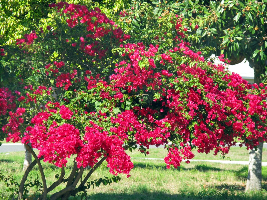 """flowering trees : That\'s a picture of """"just"""" a bougainvillea. 