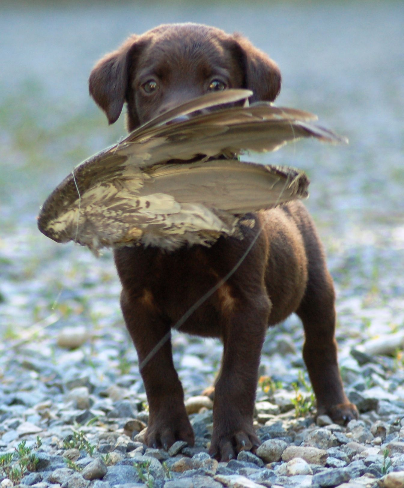 MMKennels.com chocolate Lab puppy retrieving a bird wing | Marble ...