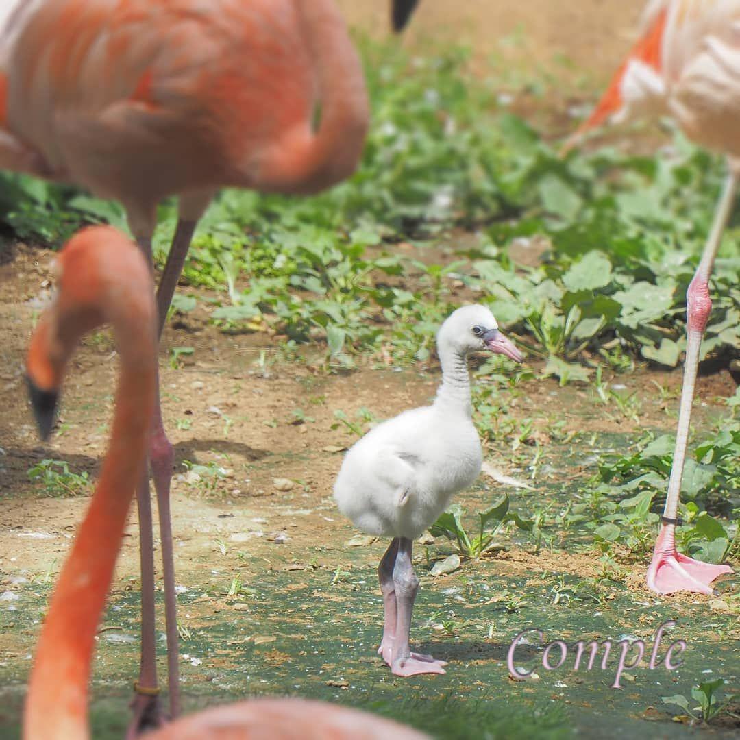 フラミンゴの赤ちゃん は 白い フラミンゴ 動物園 千葉市動物公園 鳥 ヒナ Flamingo Animals
