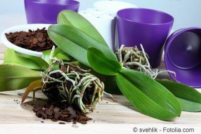 Orchidee-pflege, 30 Tipps | Zimmerpflanzen | Pinterest Blumen Tipps Pflege Von Zimmerpflanzen