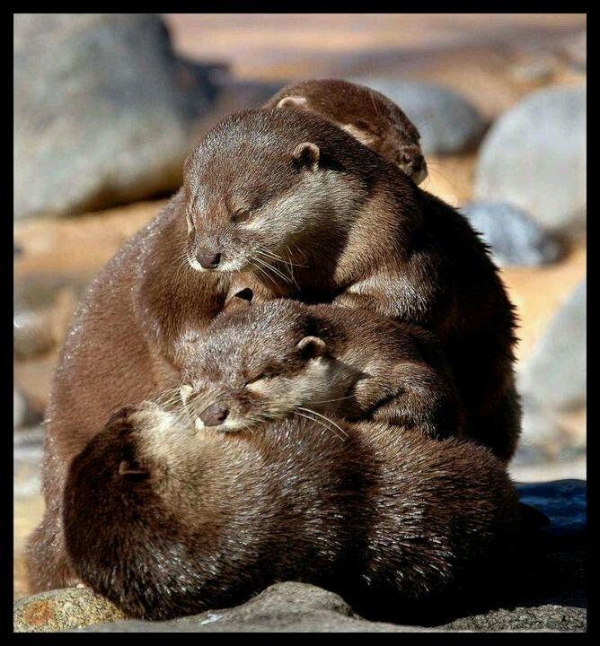 a pileup of baby otters otter luv pinterest sch ne tierbilder babytiere und tierliebe. Black Bedroom Furniture Sets. Home Design Ideas