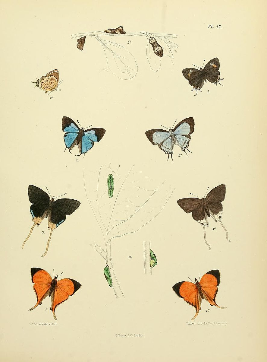 File:MooreThe Lepidoptera of CeylonPlate42.jpg