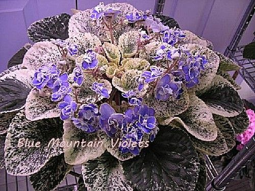 African Violet Sansoucy Coco | eBay     Sansoucy' Coco ((7768) P. Sansoucy:  Double blue ruffled/variable white-green edge.  Variegated medium green, white and cream, plain, quilted.  Large.  ~ Hopefully what mine will look like some day.