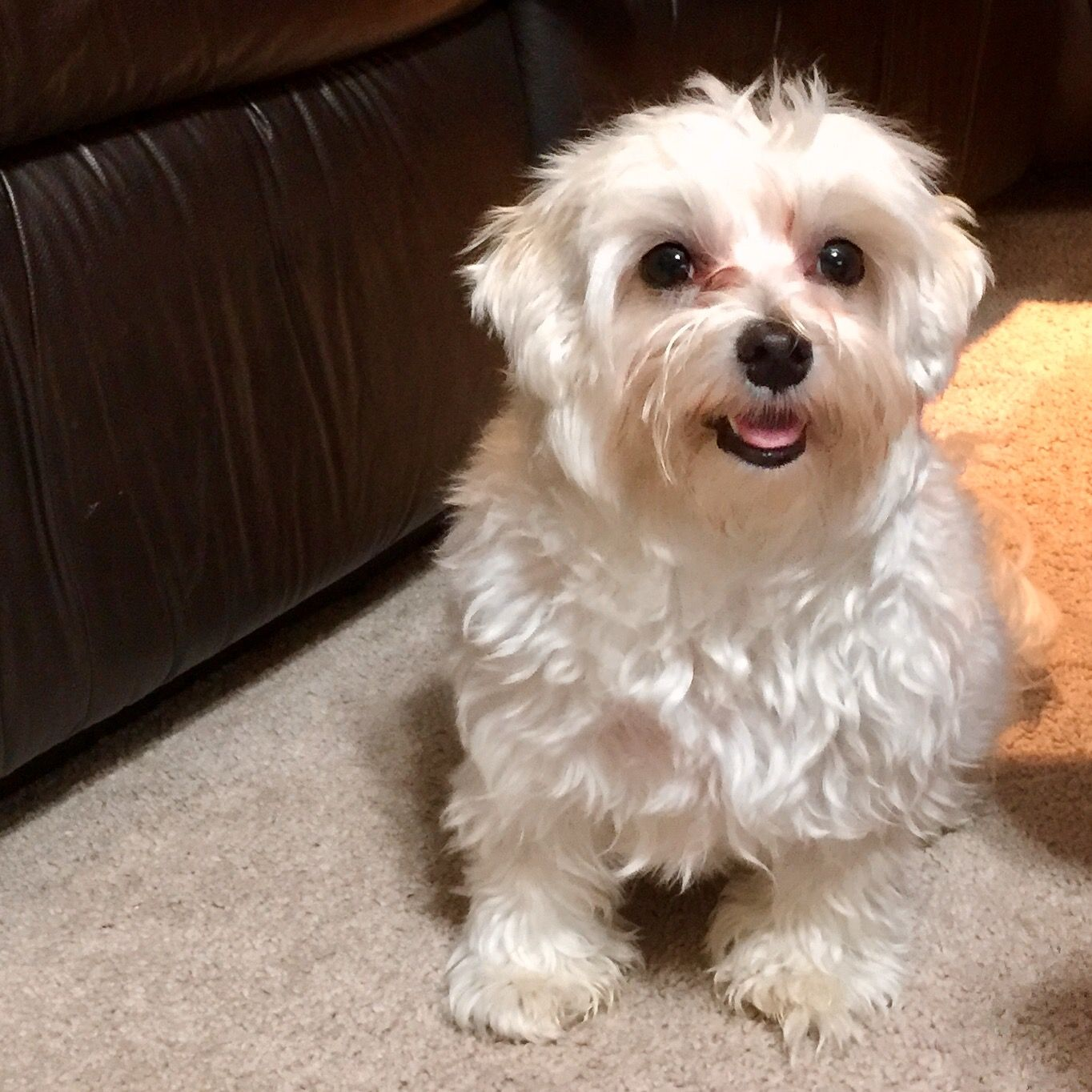 Chloe The Maltese 1 Year Old Maltese 1 Year Olds Dogs