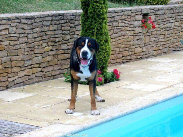GRAND BOUVIER SUISSE - Utilisés comme chien guide d