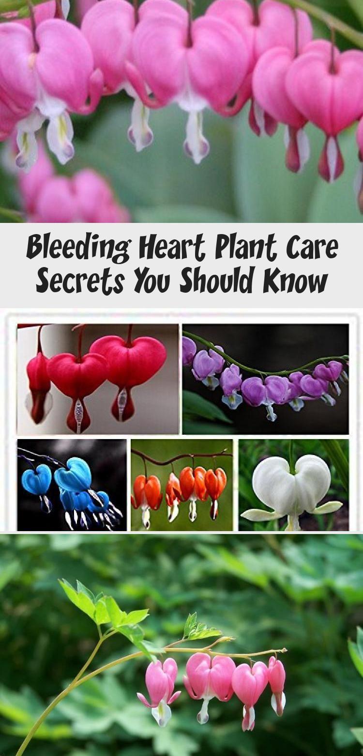 Bleeding Heart Plant Care Secrets You Should Know In 2020 Bleeding Heart Winter Flowers Garden Plant Care
