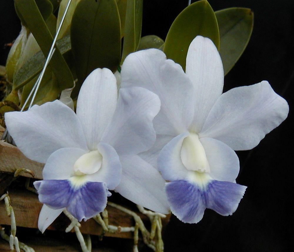 Jewell Orchids Bin Blue Cattleya Brazilian Jewel Primary Hybrid Orchid Plant Orchid Plants Cattleya Plants