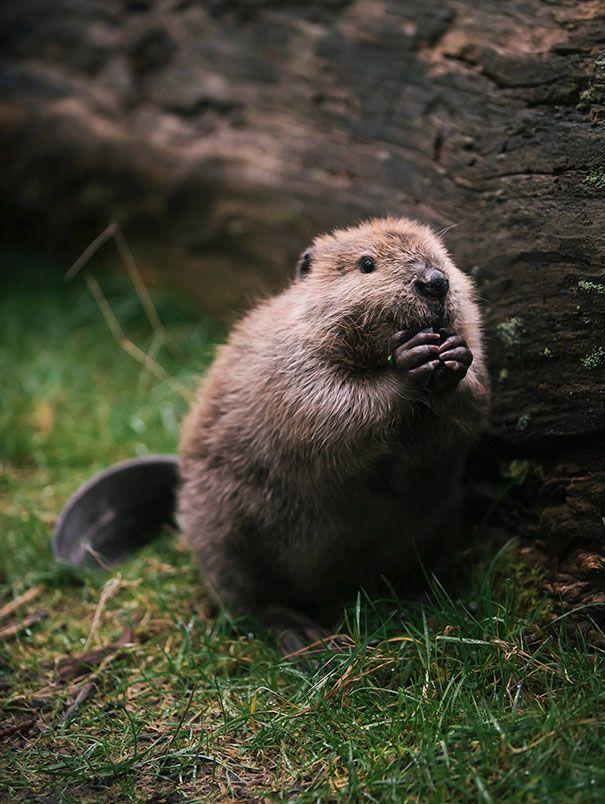 Beaver Amateur redhead