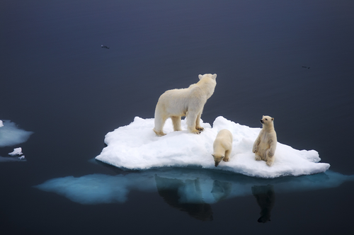 jejustinkumar:    Polar Bear family. [896595] - Imgur    happy international polar bear day :)  *PLEASE VISIT~~> http://www.savethearctic.org  please help stop the oil companies from drilling in the arctic.