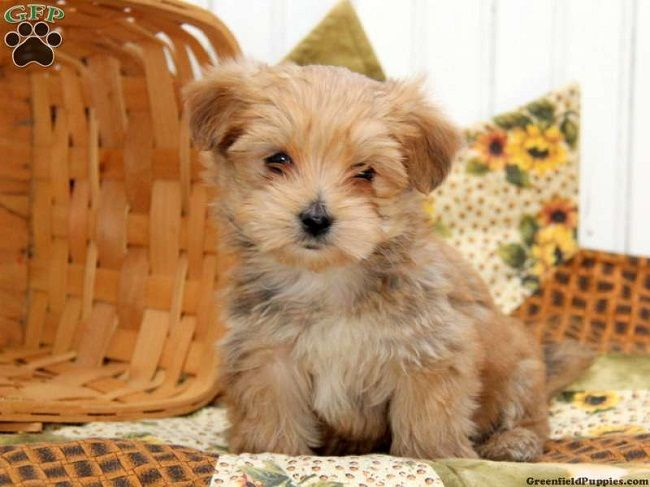 morkie puppies for sale in nc Zoe Fans Blog Morkie