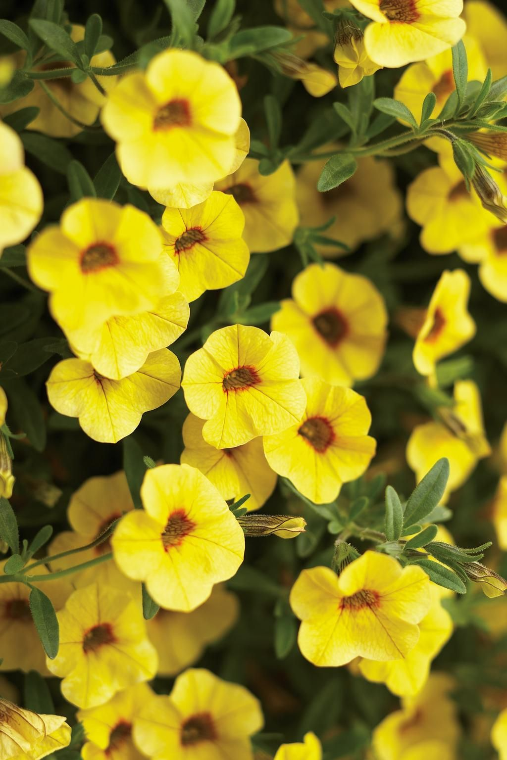 Calibrachoa superbells canary yellow canary yellow fashion calibrachoa superbells canary yellow mightylinksfo