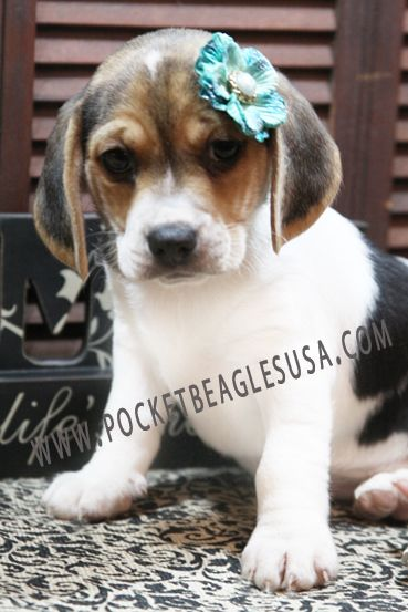 Traditional Tri Colored Female Purchased From Pocket Beagles Usa