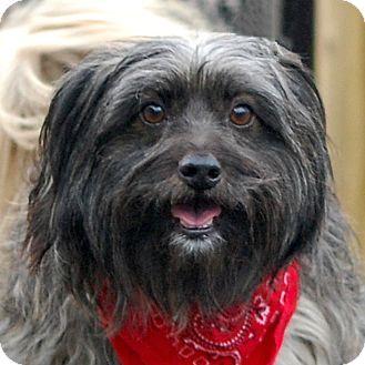 West Grove, PA Shih Tzu/Silky Terrier Mix. Meet Wilber a