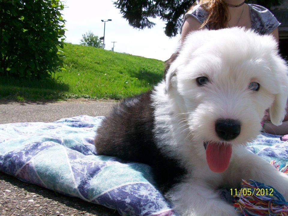 Puppy love, old english sheepdog (With images) Old