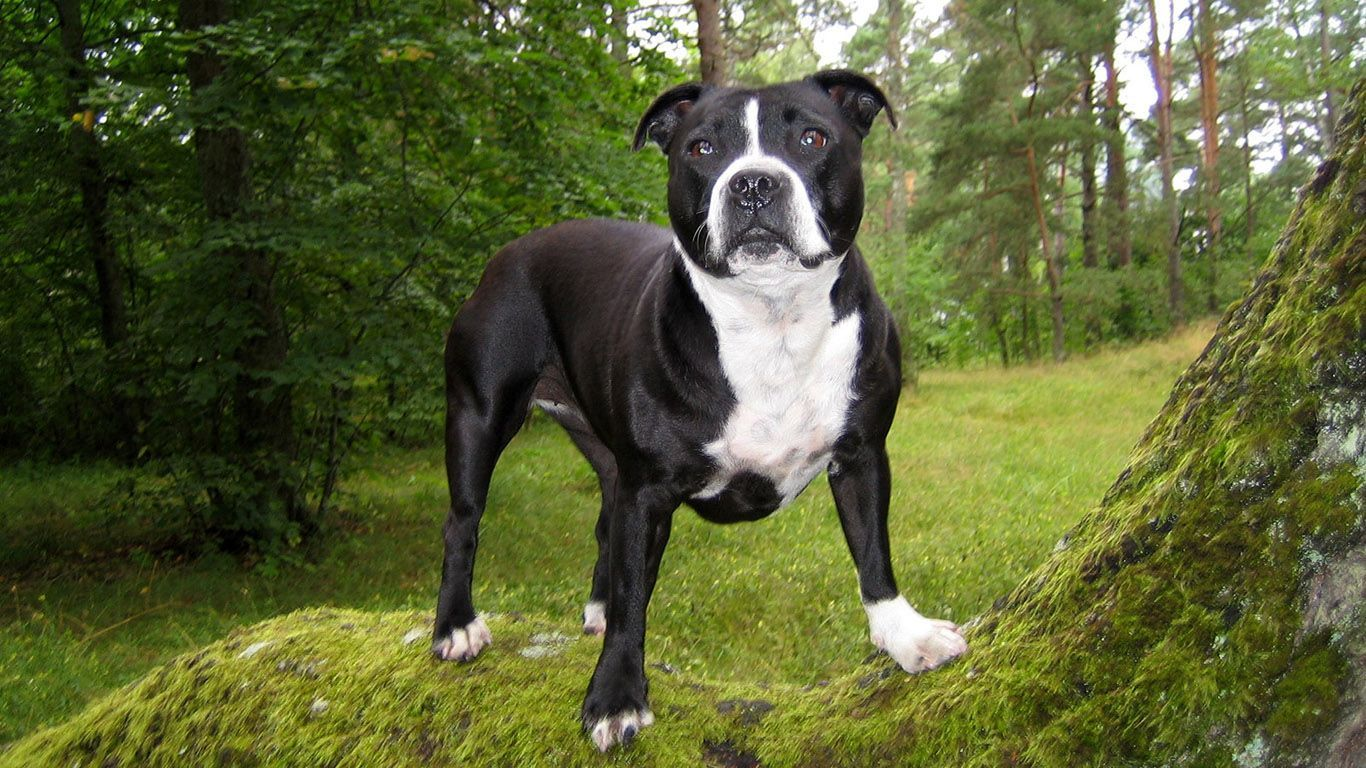 37 Dogs With Amazingly Unique Markings Pitbull Terrier Dog