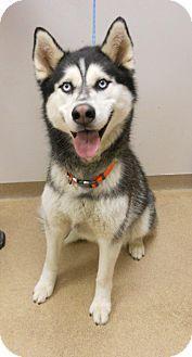 Muscatine, IA - Husky Mix. Meet Links, a dog for adoption. http://www.adoptapet.com/pet/10954963-muscatine-iowa-husky-mix