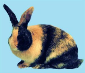 Brc Harlequin Rabbit Cute Bunny Pictures Rabbit Breeds Cute Animals