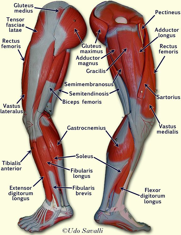 Leg Muscles Labeled Ap2innescle Pinterest Muscles