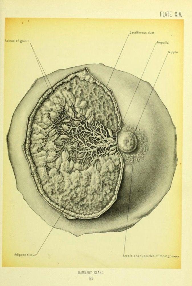 Anatomía de la glándula mamaria de un libro de cirugía de 1900 ...