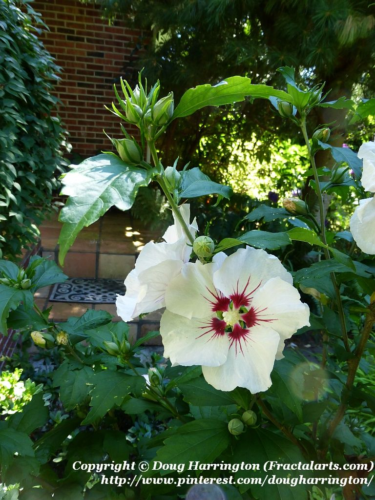 Hardy Hibiscus Red Heart Starting To Bloom In My Landscape This