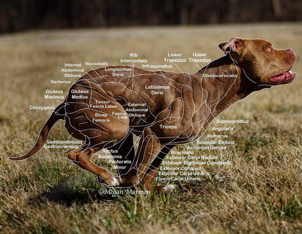 Muscle Chart by MNArtPhotography.deviantart.com on @DeviantArt | Dog ...