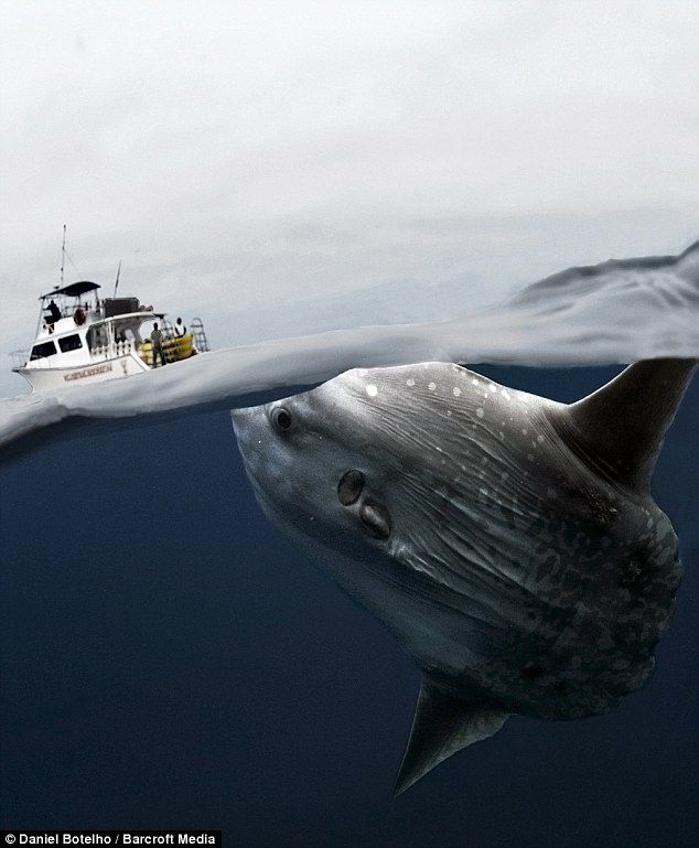 Bizarre looking deep water mola mola fish poses for the for Head boat fishing near me