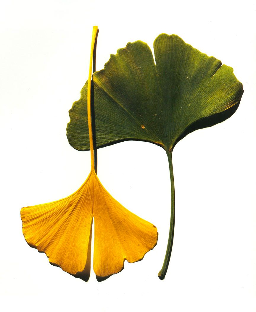 Photograph By Irving Penn 1990Penns Striking Ginkgo Leaves Photo Provided