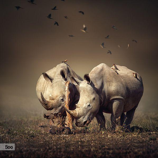 Photograph Two Rhinoceros with birds by Johan Swanepoel on 500px Visist SA: http://www.savisas.com/