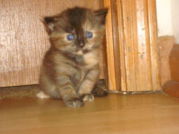 Beautiful Tigres-like Brown/Black Female Kitten (2months ...