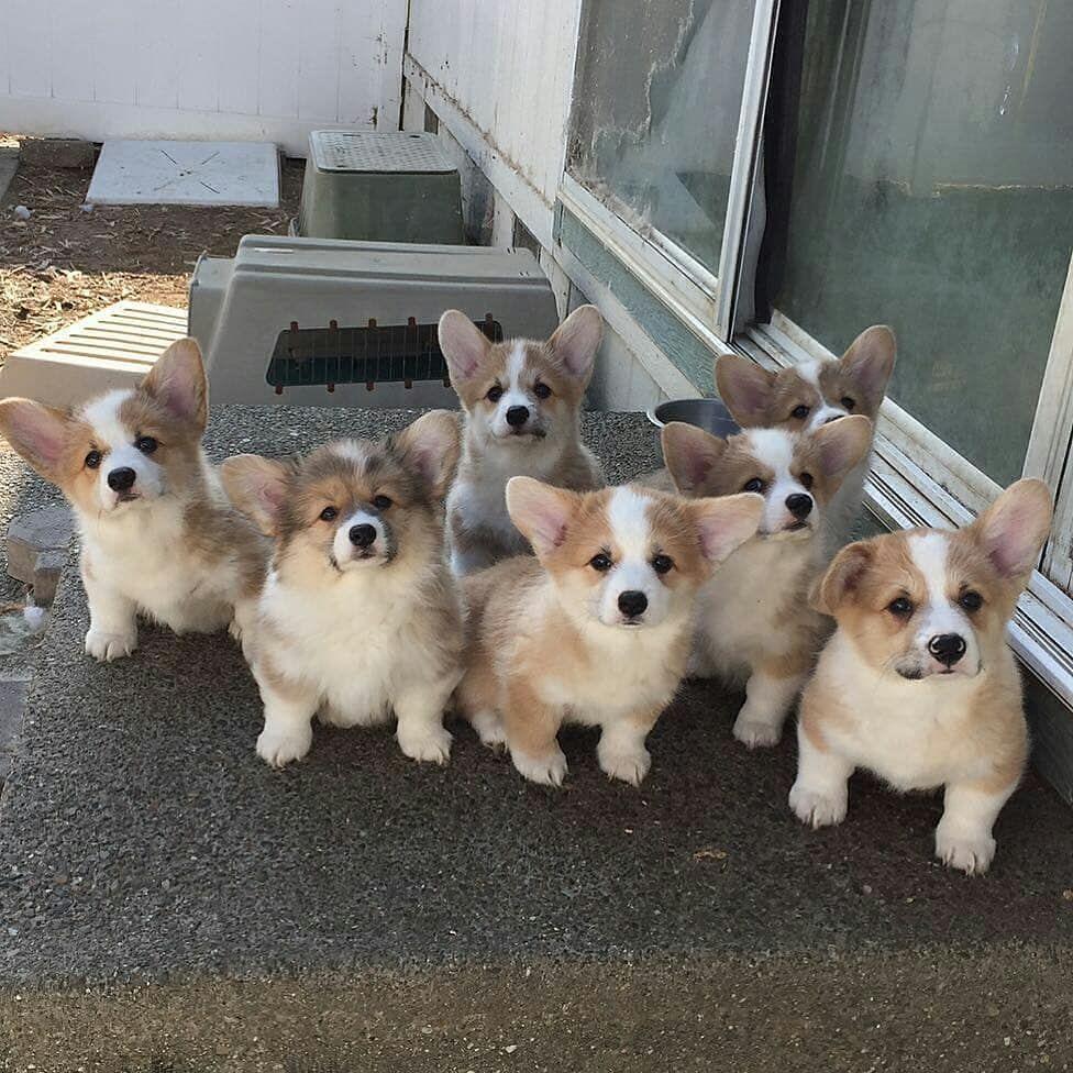 Die Ganze Familie Credits To Mosleythecorgi Hunde Welpen Hund