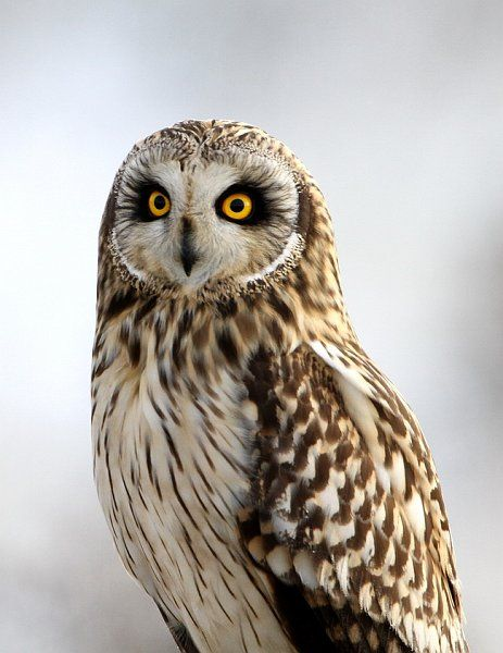 Short Eared Owl. I love these owls they look like they wear makeup. Sometimes they show their cute little ear tufts that look like horns. I don't like long ears owls tho