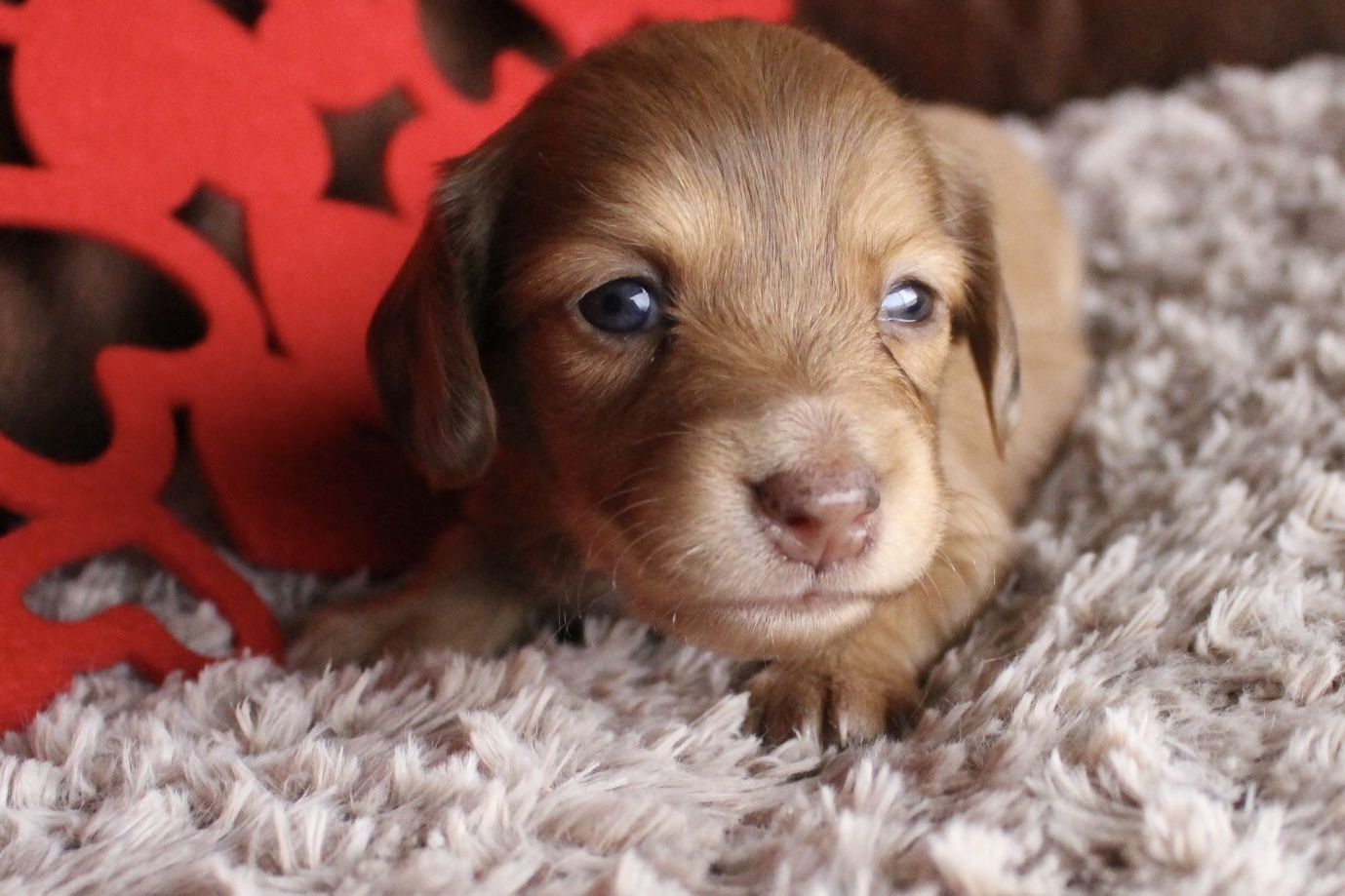 Chocolate And Cream Dapple Longhair Female Dachshund Muddy River Dachshunds Dachshund Puppy Miniature Dachshund Puppies For Sale Dachshund Puppies