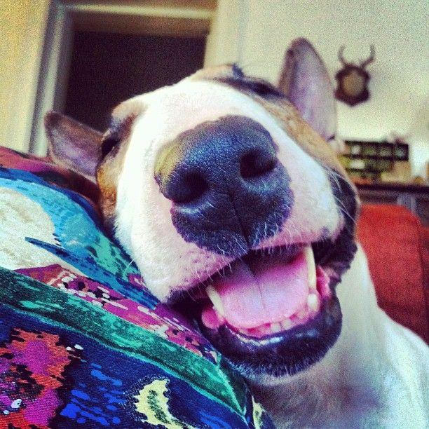 Instagram photo by #beccabarnet of #boyfriendbruce the bull terrier