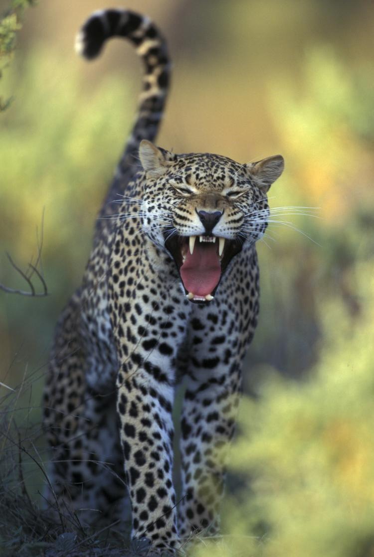 бои отнес фото красивые леопарды и львы евгеньевна высококлассный