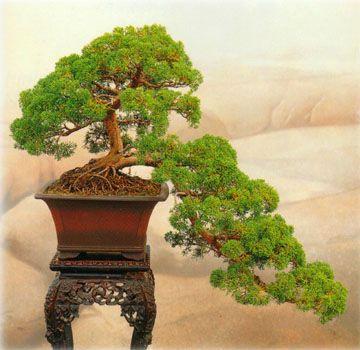 Bonsai #bonsai, #hobbies, https://apps.facebook.com/yangutu