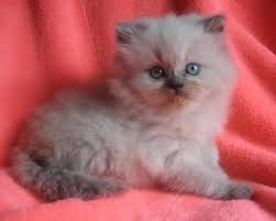 Image result for doll faced blue point himalayan kitten