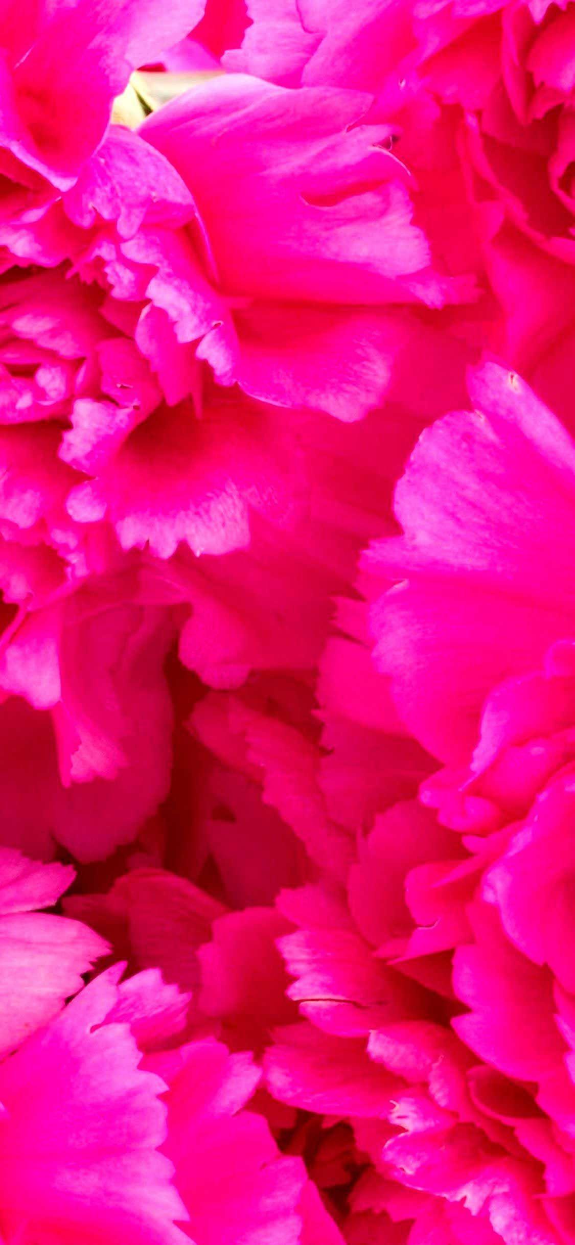 Iphone Wallpaper Carnations flowers k wallpaper Hd in