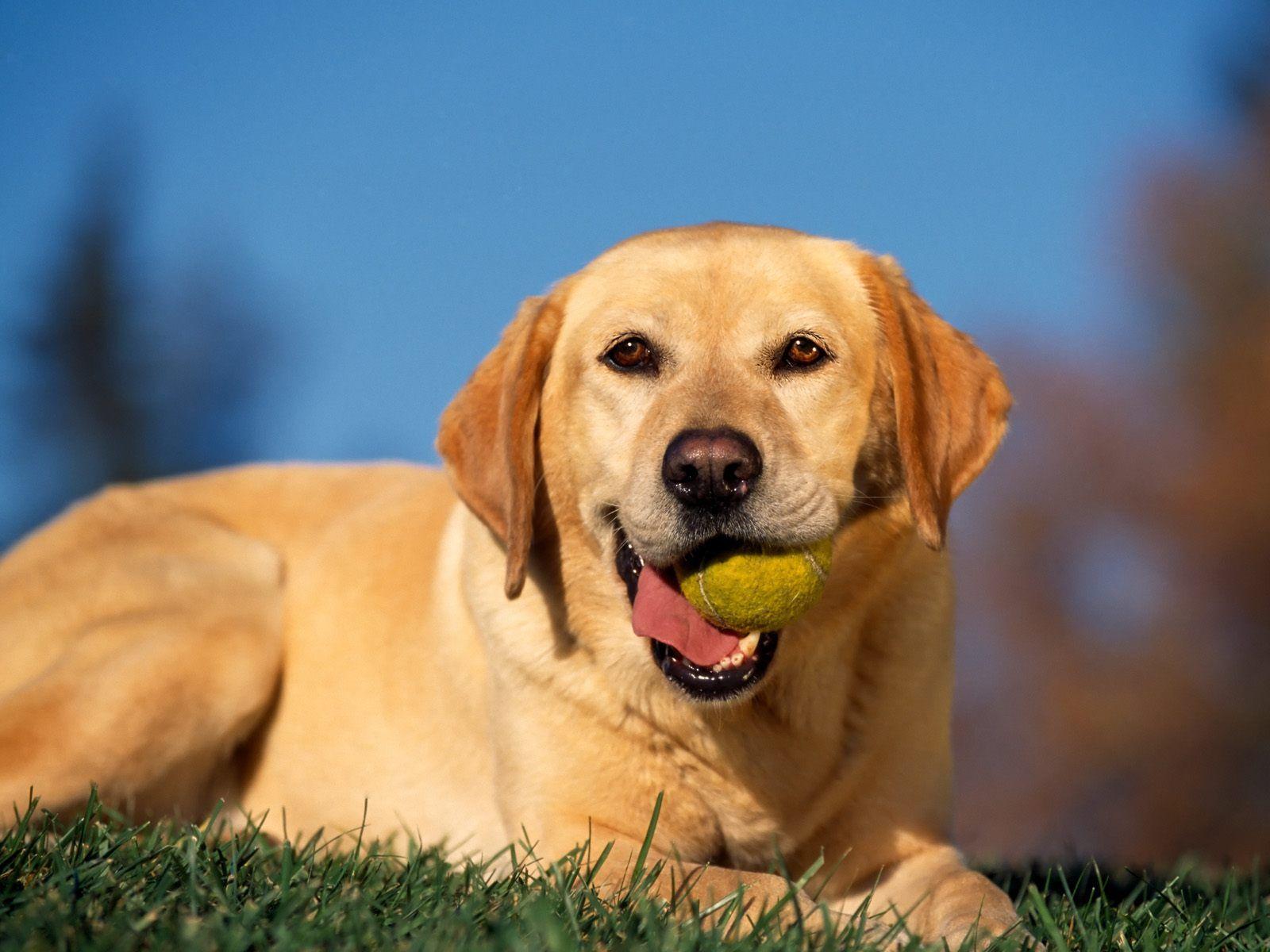 Labs And Their Toys P Labrador Dog Labrador Retriever Labrador Retriever Dog