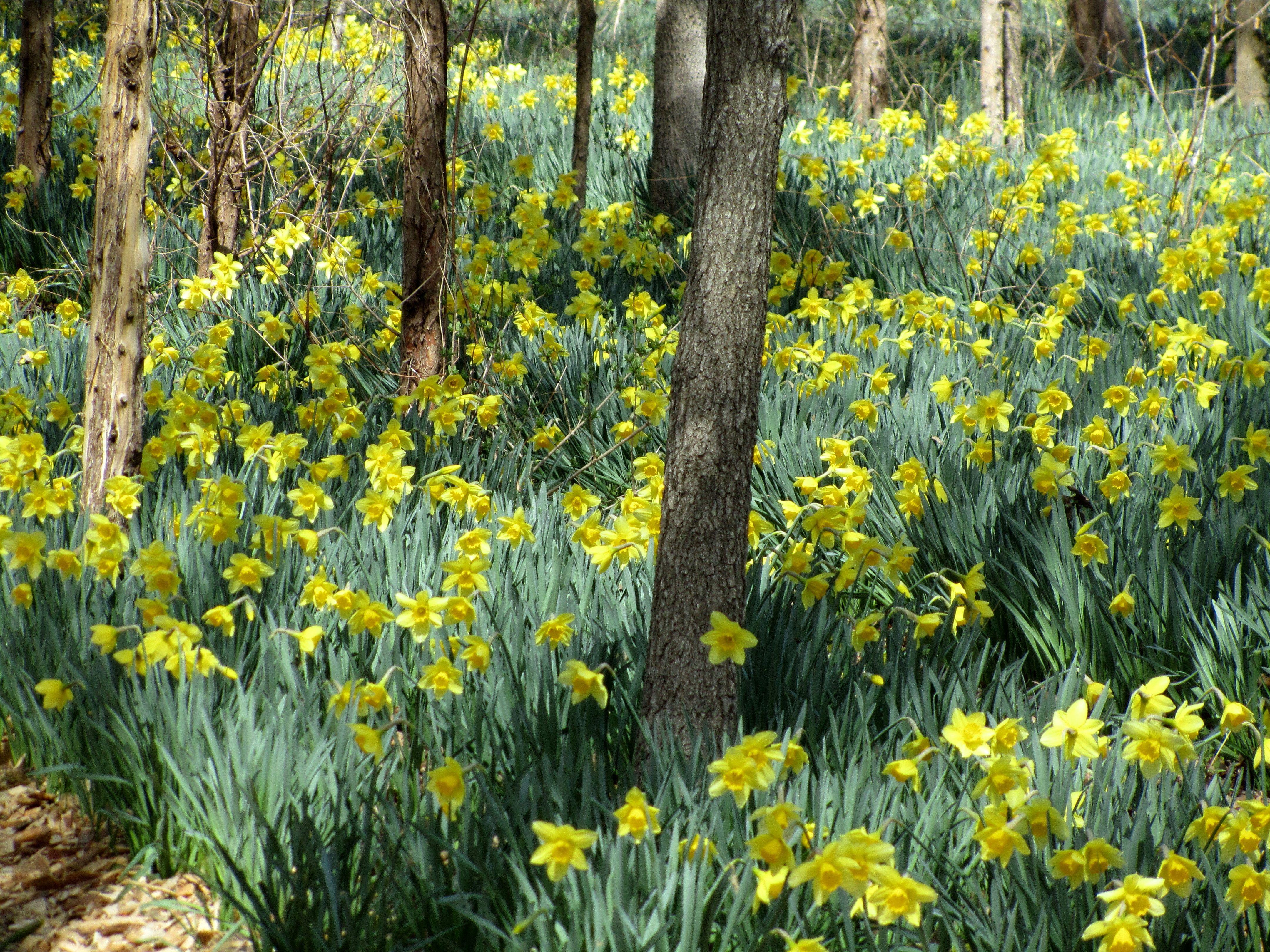 wild daffodil field in dartmouth ma garden wild daffodil field in dartmouth ma