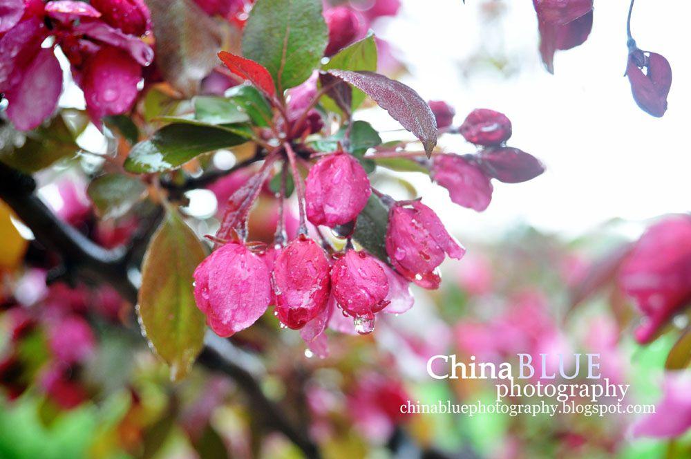 Rain Flowers #spring #rain #blossoms #pink